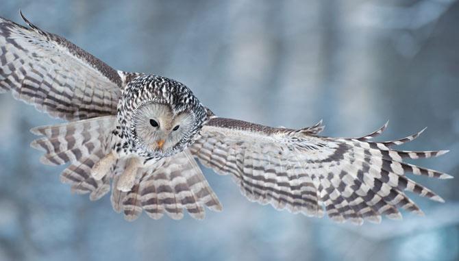 ural_owl