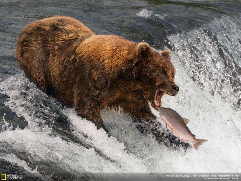 bear_salmon_NGM