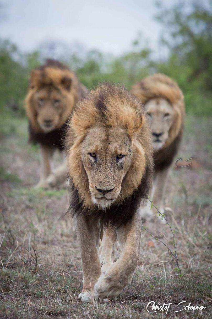 trio-lions