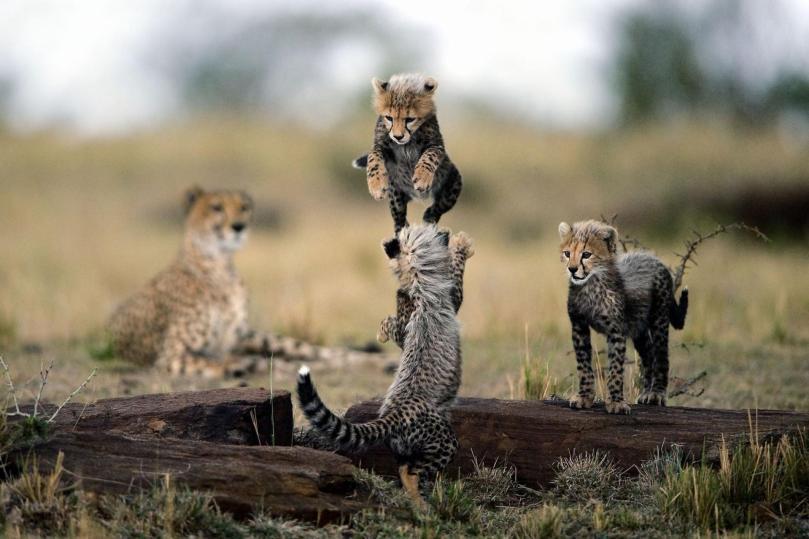 13-cheetah-